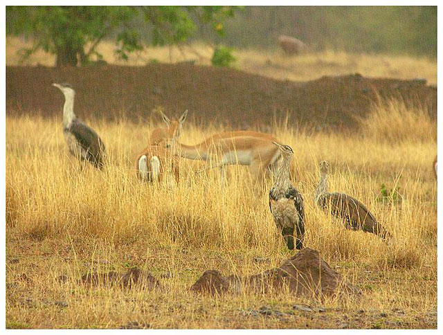 Great Indian Bustard Sanctuary
